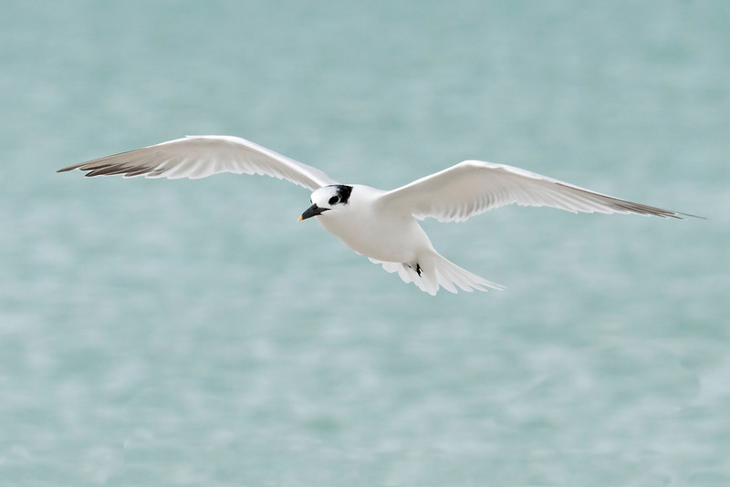 Tern - Sandwich - Blind Pass - Sanibel Island, FL - 04