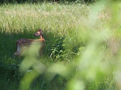 Fawns 2012