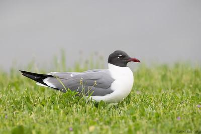 Laughing Gull, Leucophaeus atricilla