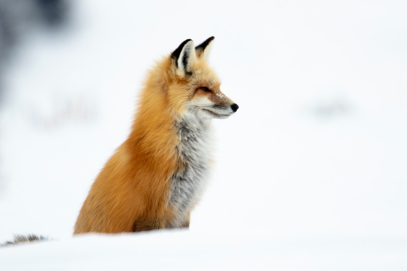 387A9749 Red Fox profile cropped.jpg