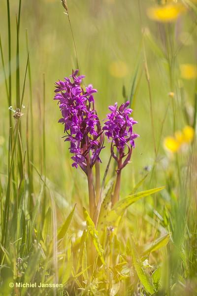 Dactylorhiza majalis subsp. majalis - Brede orchis - Broad-leaved marsh-orchid