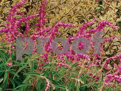 having-trouble-with-your-flowers-try-ornamental-salvia