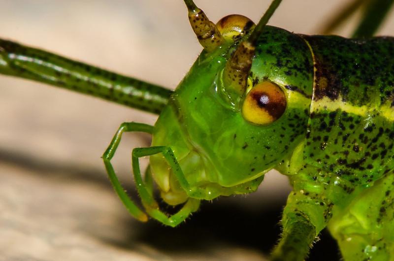 Grasshopper-2.jpg