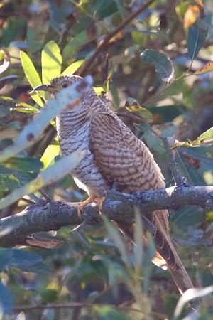 2012-10-02 Common Cuckoo etc--Santa Cruz County