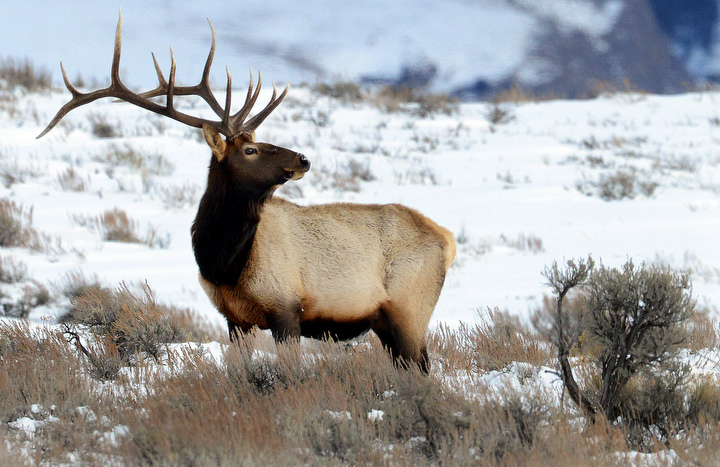 . A bull elk makes its way through a snow covered meadow in Yellowstone. PHOTO:Will Lester