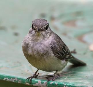 Ashy Flycatcher