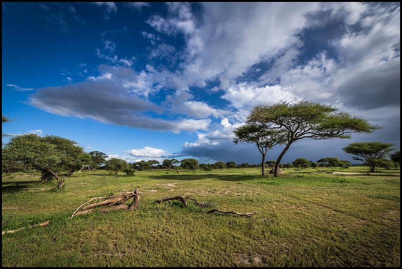 Acacia trees, Tarangire NP