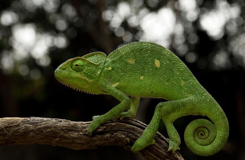 Chameleon-5.jpg