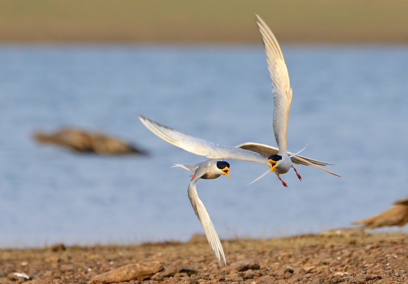 River-terns-males-quarrel.jpg