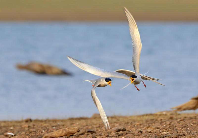 River-terns-males-quarrel.jpg