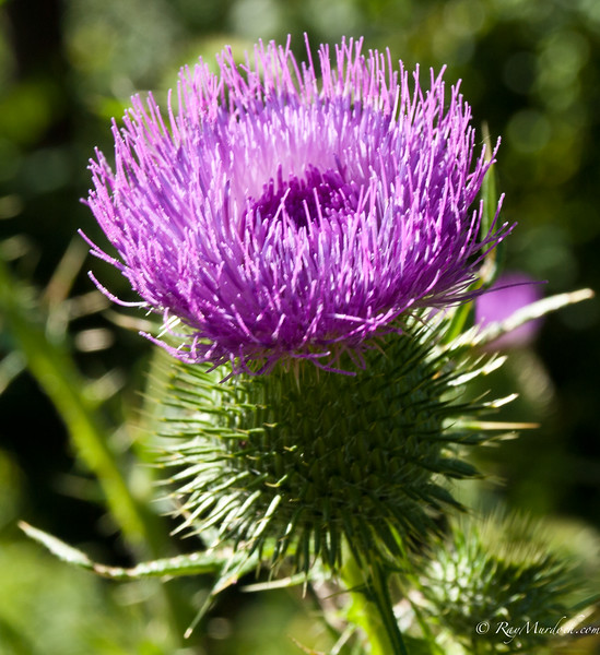 Gotta love summer.  The thistles are out in full bloom.