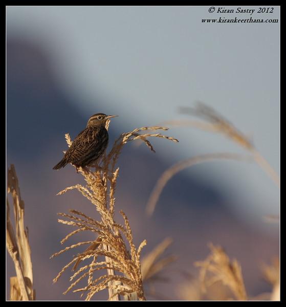 Western Meadowlark feasting on corn, Cibola National Wildlife Refuge, Arizona, November 2012