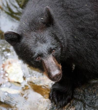 Black Bears of Anan Alaska