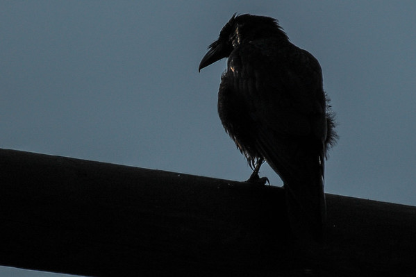 8 2013 Aug 10 Raven Back Lit*
