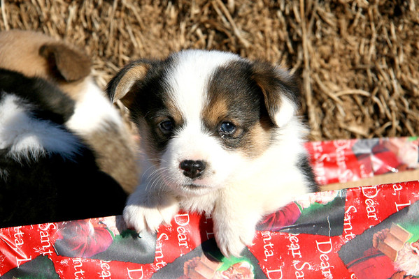 Corgi Puppies 11-26-11