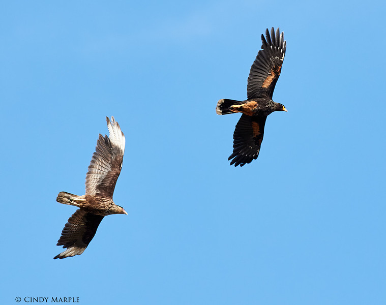 Southern Crested, Striated Caracaras