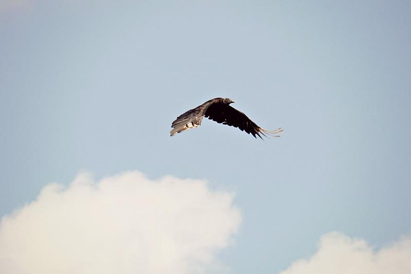 Black Vulture, Everglades FL
