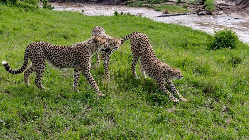 Cheetahs-0207.jpg