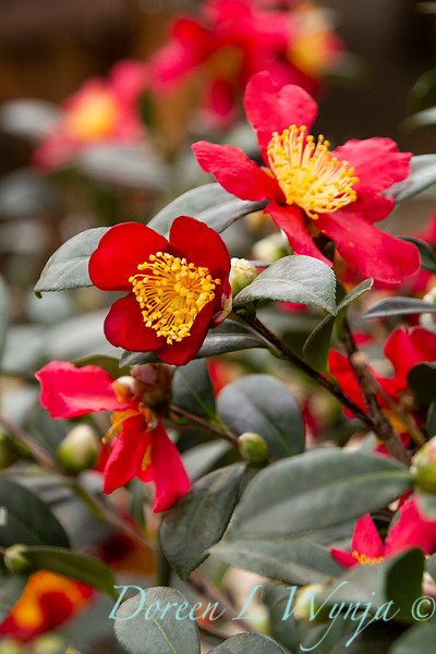 Camellia sasanqua 'Yuletide'_1878.jpg