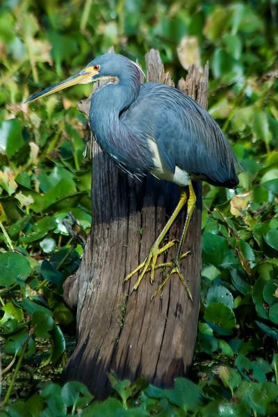 Heron - Tri-colored - Corkscrew Swamp, FL - 02