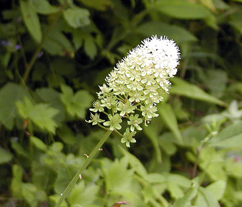 Fly Poison blooms along Balsam Mtn Road, NC Amianthium muscaetoxicum  Liliaceae 8/4/07