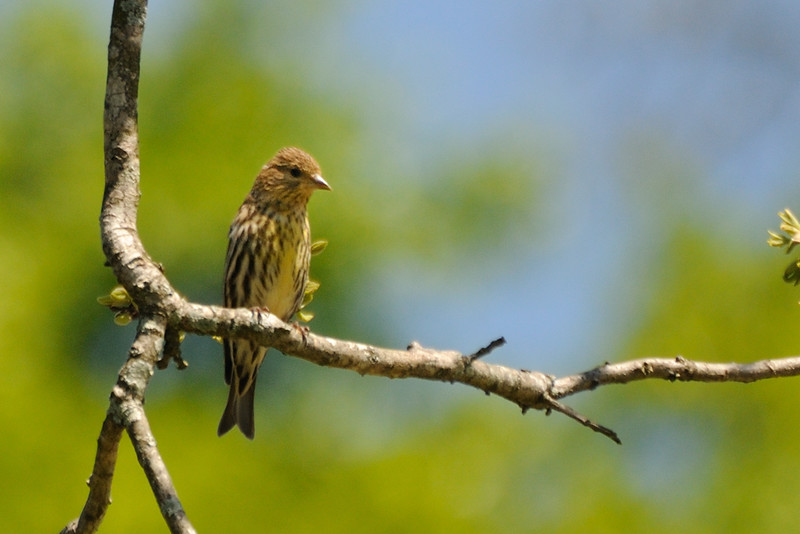 More pine siskins.