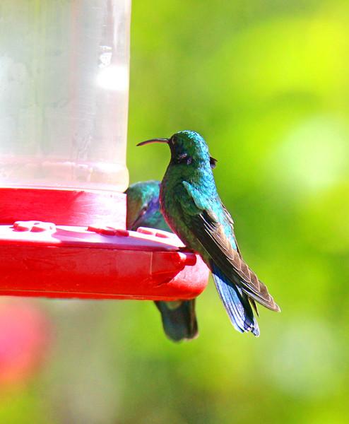 Lesser Violetear Hummingbird