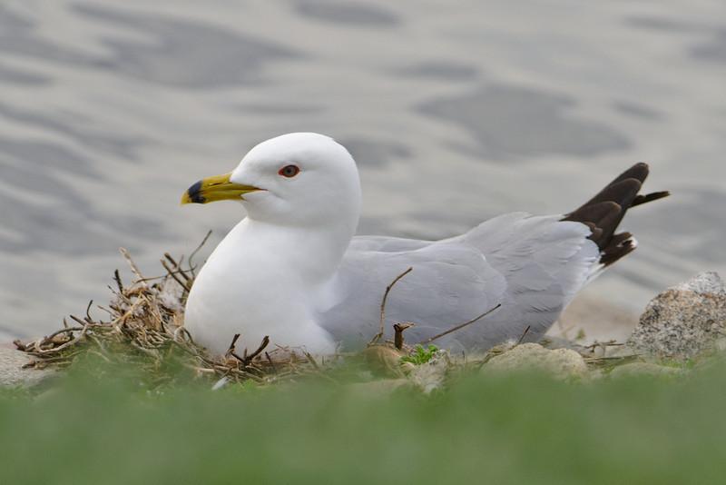 Gull - Ring-billed - on nest - Grand Rapids, MN