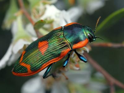 genus Castiarina