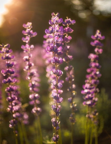 LUPINES SUNRISE 4X6 Print EDIT.jpg