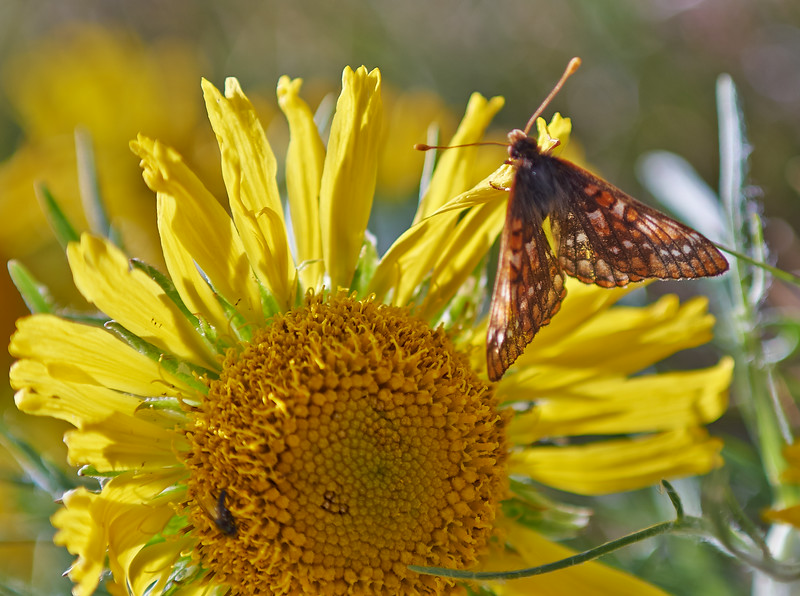 Alpine Sunflower and Butterfly