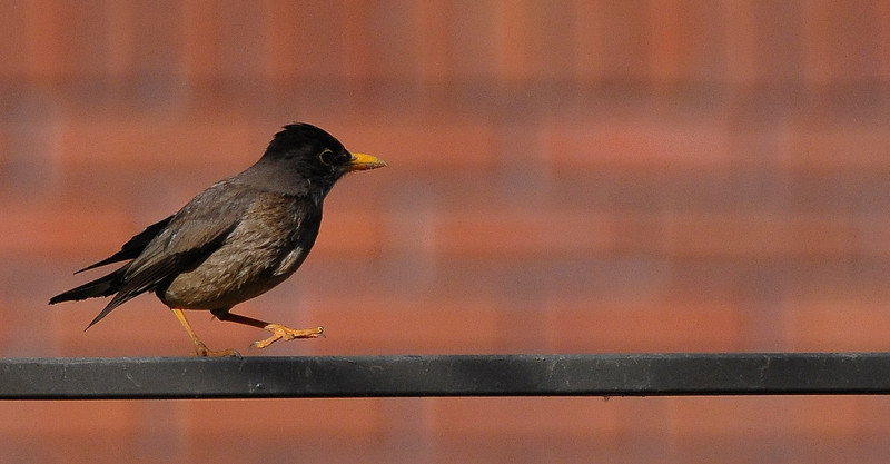 ub austral thrush walking the fence DSC_2443.jpg