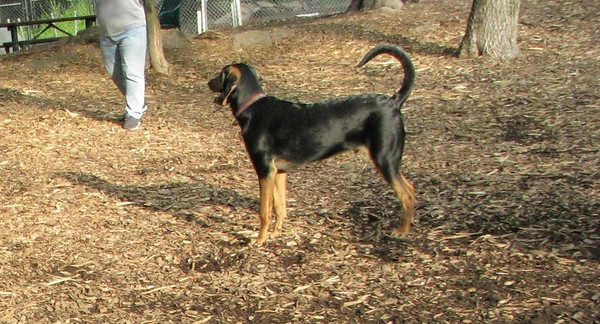 SAMMY (coonhound, new)