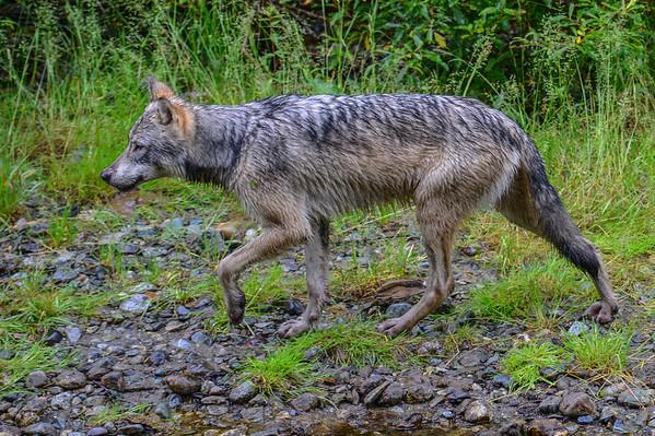 8-07-14 Wolf & Bear Encounter Hyder Alaska