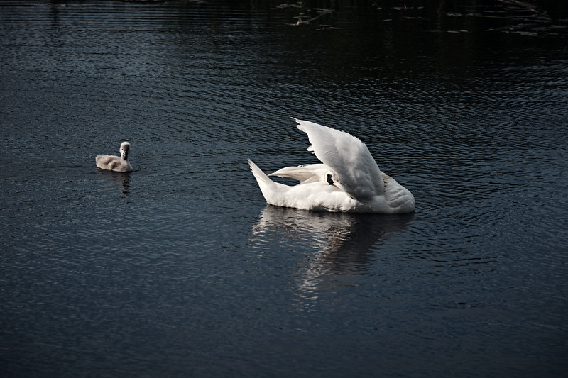 Swans_Of_Castletown006.jpg