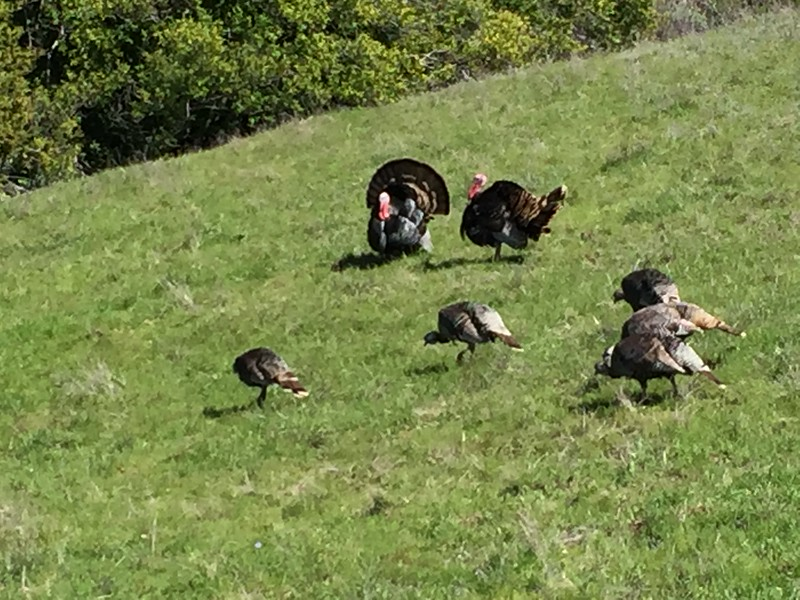 #MeToo: Turkey hens ignore and rebuke sexual harassment and innuendo from tom turkeys