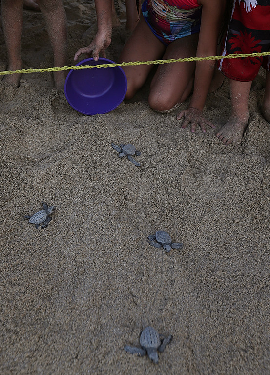 ". In this Saturday, Dec. 2, 2017 photo, children help with the release of olive ridley sea turtle hatchlings on the beach in Sayulita, Nayarit state, Mexico. A local non-profit organization ""Red Tortuguera\"" is helping the turtles survive by relocating recently laid eggs to a protected area of the beach, collecting the hatchlings to keep them safe from bird attacks, and releasing them as a group every Saturday at sunset. (AP Photo/Marco Ugarte)"