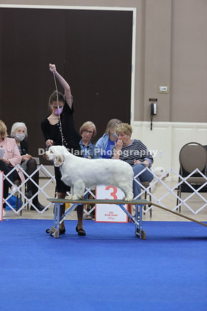 CSCA Regional Specialty Bitches -  Puppy 9-12 Months