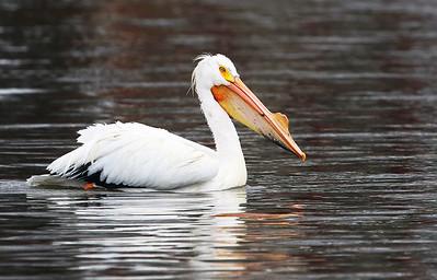 20170411 - White Pelicans (HRB)