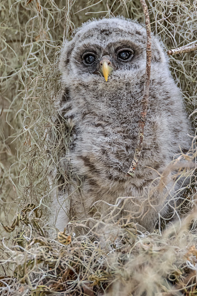 Barred owl juvenile