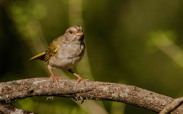 Olive Sparrow LL_DWL5513.jpg