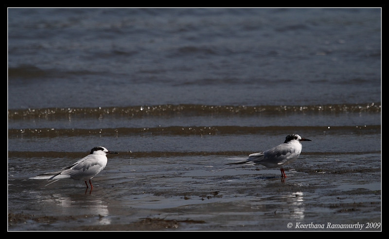 Forster's Terns, Coronado Ferry Landing, San Diego County, California, April 2009