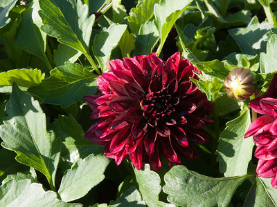 Dahlia - Hypnotica Dark Night