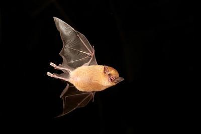 Bats Tropical