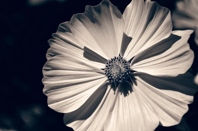 bw flower.jpg