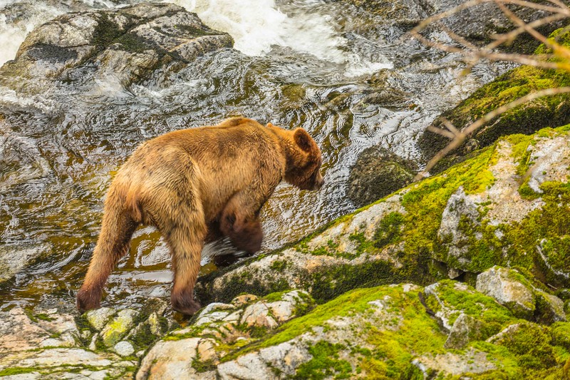 Anan Brown Bear 2.jpg