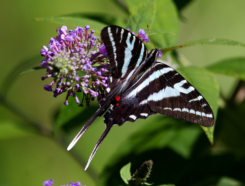 Zebra Swallowtail.jpg