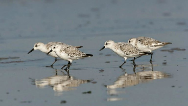 pilsey-island--spring--sanderlings-feeding-along-the-beach-at-titchwell.jpg