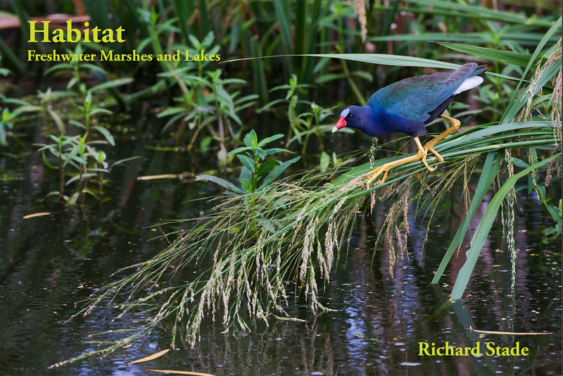 """Habitat - Freshwater Marshes and Lakes 26 pages 12"""" x 8"""" Format 26 full bleed full page photographs Printed on Fuji Crystal Archive(TM) Album silver halide paper  Hardcover with image wrap  $70 plus s/h  To Order contact Richard Stade at  RStadePhotos@yahoo.com"""