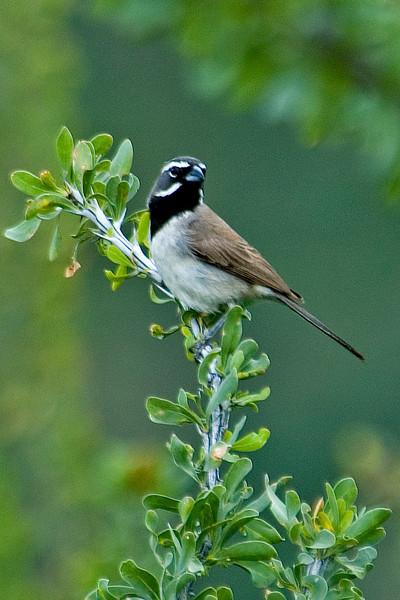 Sparrow - Black-throated - California Gulch - AZ